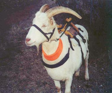 Pack Goat With Neck Band